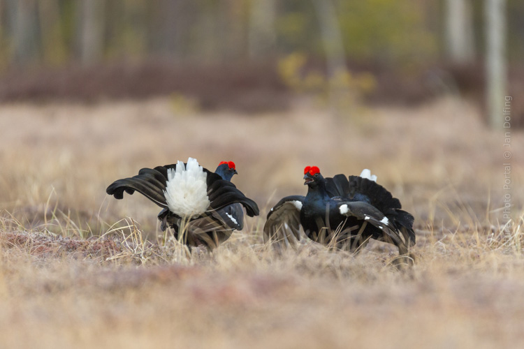 Bird_photograpy-Nature_Photo_Portal-Jan_Dolfing-Black_grouse-3