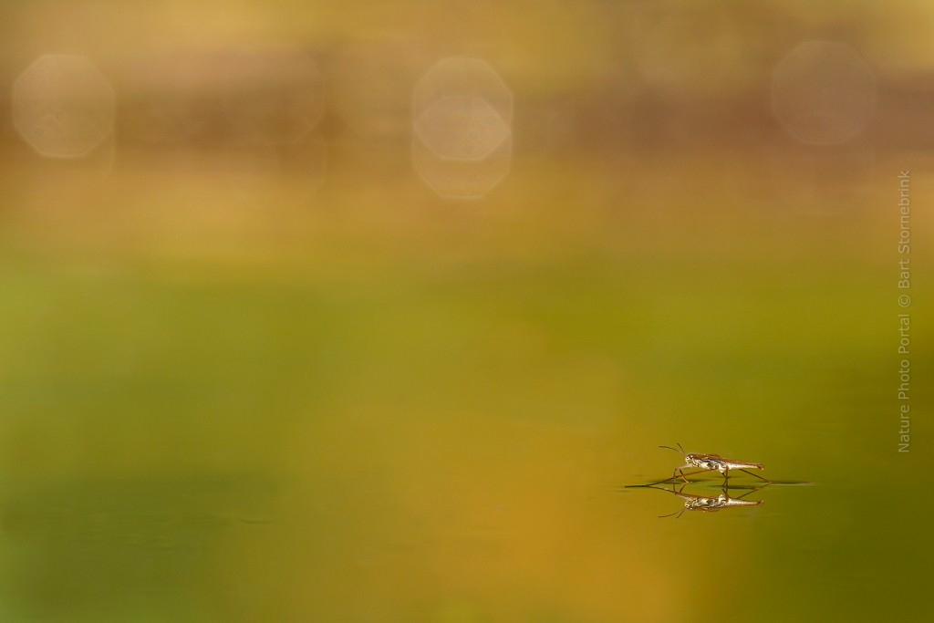 Macro_Photography-Nature_Photo_Portal-Bart_Stornebrink-Insect_on_water