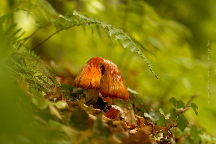 Macro_photograpy-Nature_Photo_Portal-Jan_Dolfing-Toadstool-5