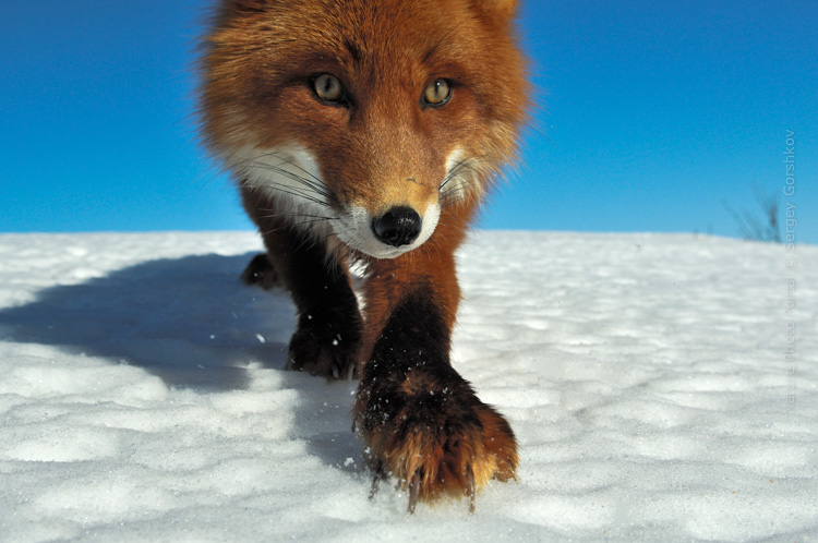 Sergey_Gorshkov-Nature_Photo_Portal-Nature_Talks_Photo_Festival-Fox_0093 14.40.52