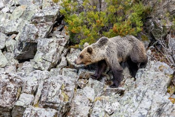 Wildlife Photography Nature Photo Portal Celso Alvarez Brown bear