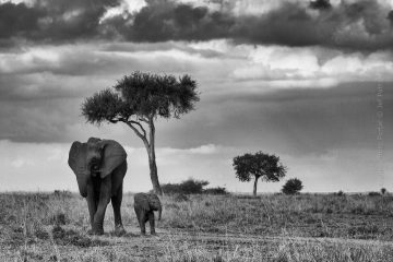 Wildlife_Photography-Nature_Photo_Portal-Jef_Pattyn-elephant-baby-black_and_white