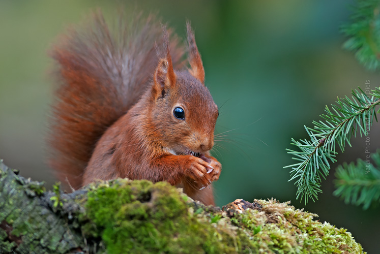 Wildlife_Photography-Nature_Photo_Portal-MIra_Diels-Eurasian_Red _Squirrel_(Sciurus vulgaris)_-3