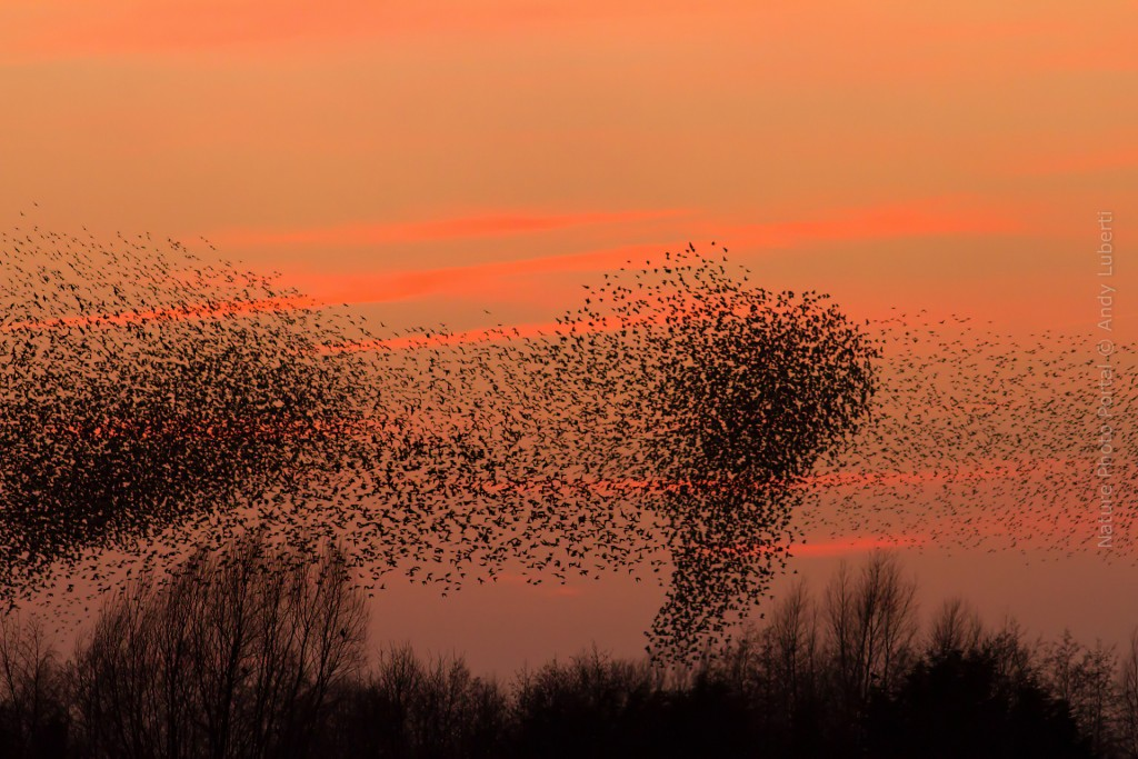Bird_Photography-Nature_Photo_Portal-And_Luberti-Starlings