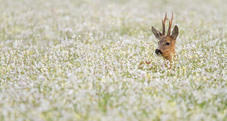 Wildlife Photography on Nature Photo Portal by Andy Luberti :Roedeer