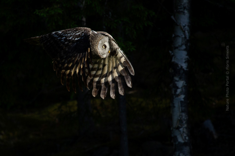 Bird_photography-Nature_Photo_Portal-Floris_Smeets-Great_grey_ owl_1-3