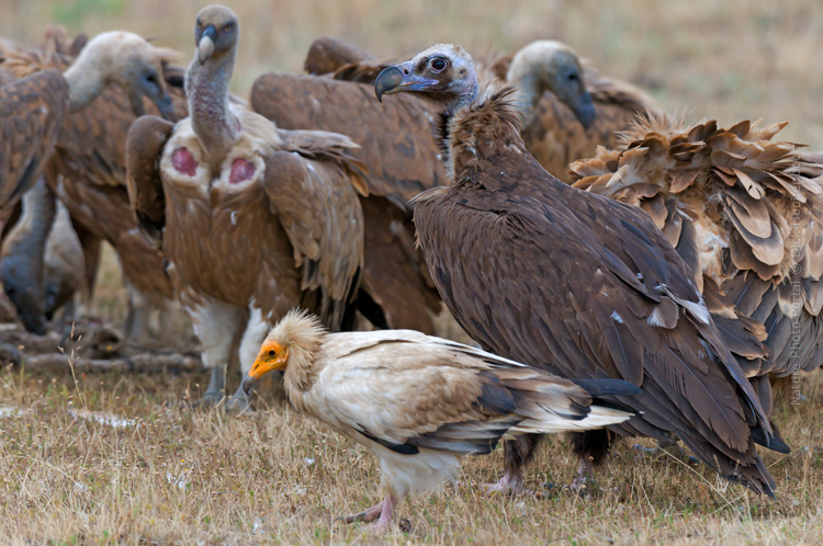 Bird photography Nature Photo Portal Dick Hoogenboom Extremadura the three species Monk Griffon Egyptian Vulture