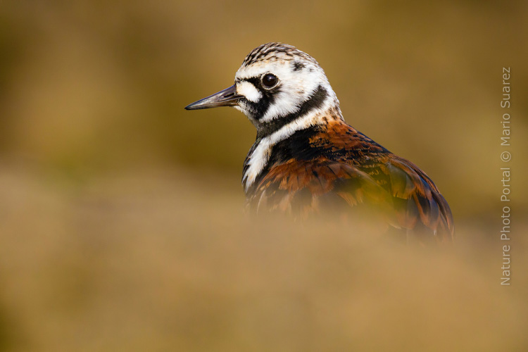Bird photography Photography Nature Photo Portal Mario Suarez turnstone