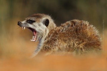 Wildlife_Photography-Nature_Photo_Portal-Hector_Ruiz-Meerkat_yawn