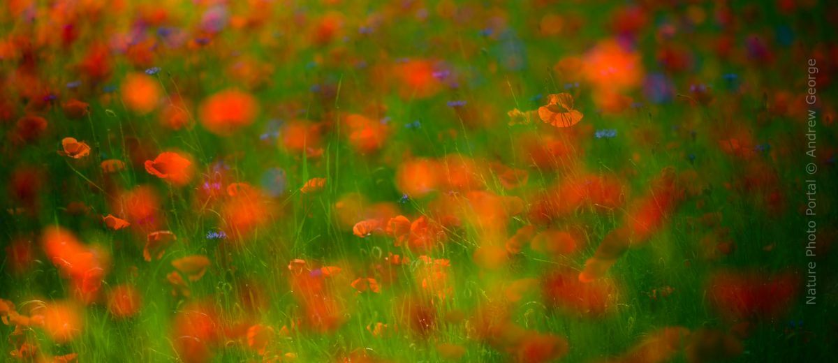 Nature_Photo_Portal-Andrew_George-Poppies-4