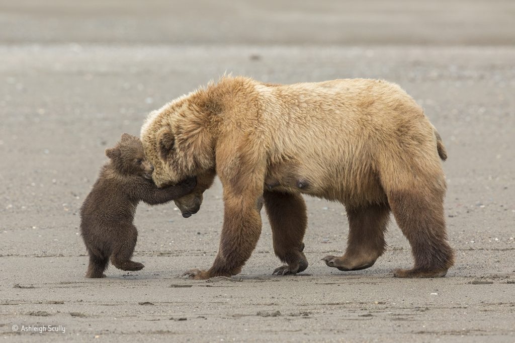 Bear-hug-©-Ashleigh-Scully-Wildlife-Photographer-of-the-Year