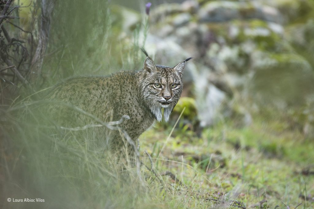 Glimpse of a lynx © Laura Albiac Vilas - Wildlife Photographer of the Year