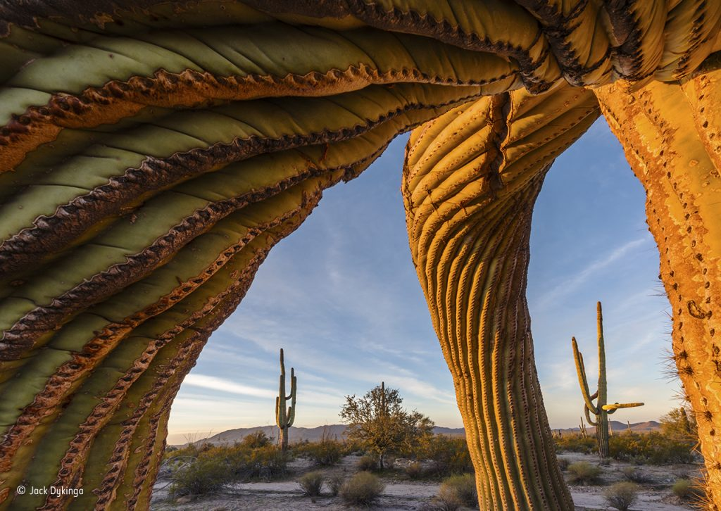 Saguaro twist © Jack Dykinga - Wildlife Photographer of the Year