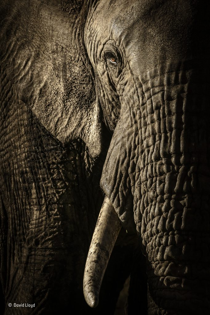 The-power-of-the-matriarch-©-David-Lloyd-Wildlife-Photographer-of-the-Year