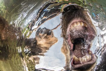 Nature Photographer of the Year Contest 2017 Overall Winner NPOTY 2017 Mike Korostelev Curios bears cubs