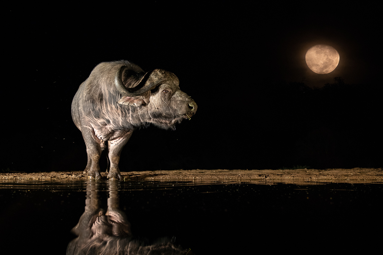 Nature_Photographer_of_the_Year_contest_2018-sponsor-Buteo_Photo_Gear-C02_NPOTY-2018_Andreas-Hemb_Old-Buffalo-and-the-moon_Highly-commended