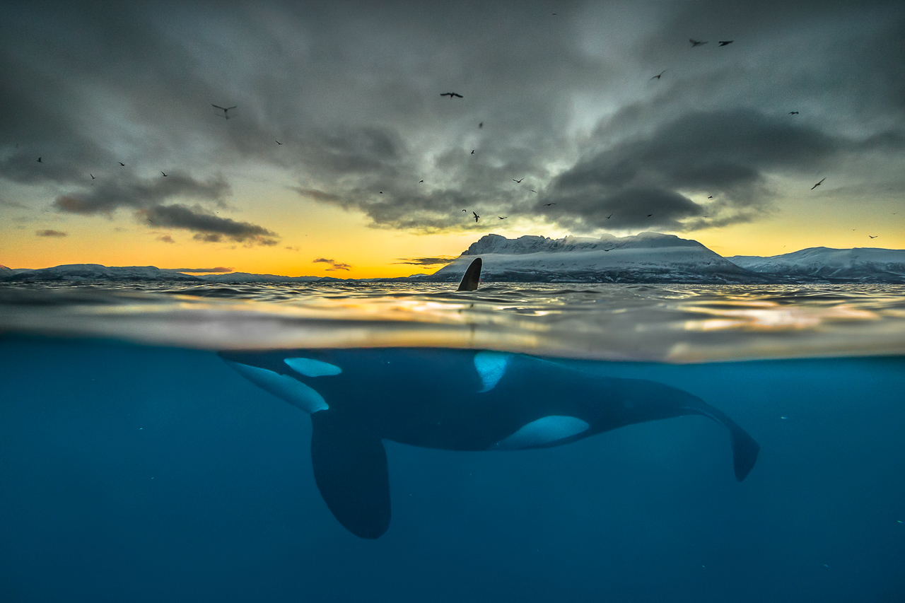 Nature_Photographer_of_the_Year_contest_2018-sponsor-Buteo_Photo_Gear-C06_NPOTY-2018_Audun-Rikardsen_Killer-whale-in-polar-night_ Highly-commended