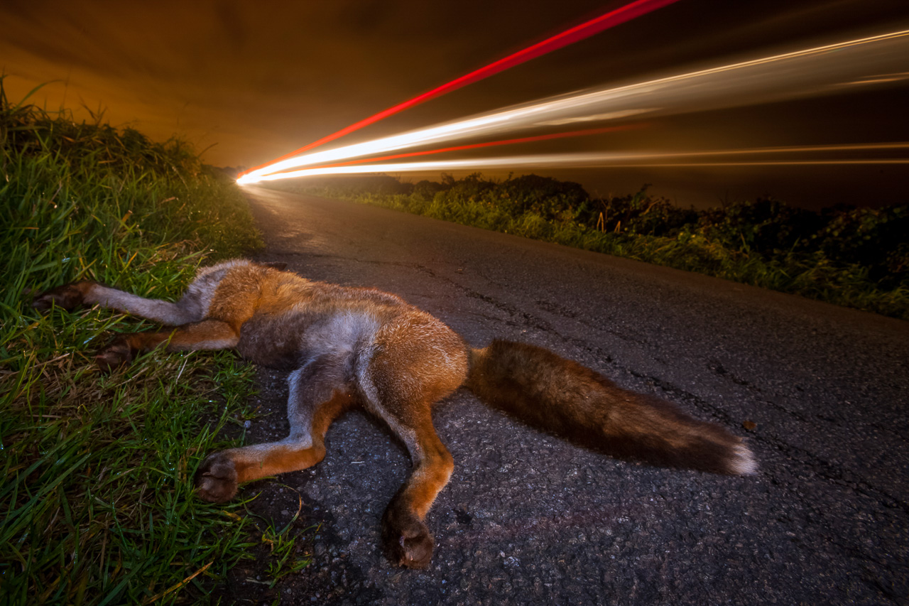 Nature_Photographer_of_the_Year_contest_2018-sponsor-Buteo_Photo_Gear-C11_7_NPOTY-2018_Neill-Aldridge_Traffic-casualty