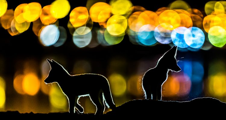 Nature-Photo-Portal-NPOTY-2019_C02_66687_Mammals_-finalist_Colorful-night_Mohammad-Murad